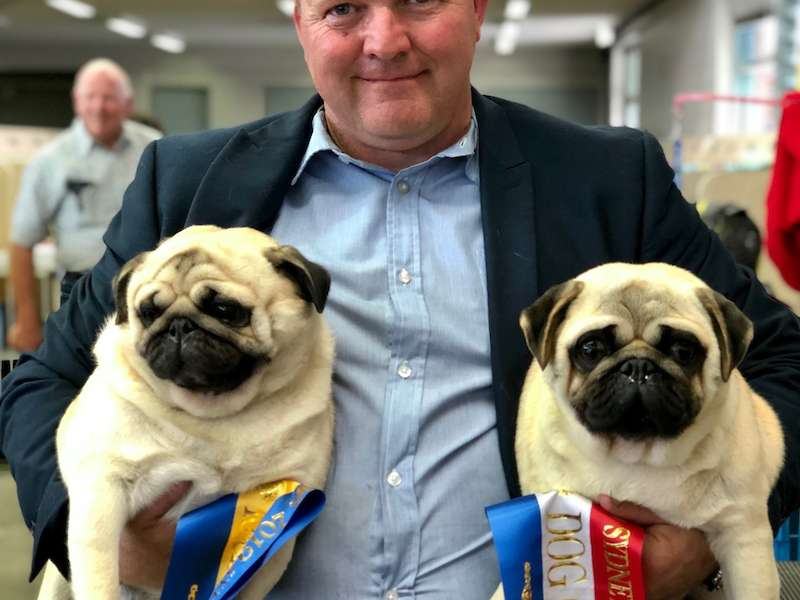 Pugs at the Sydney Royal Easter Show 2019